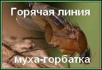 Горячая муха-горбатка